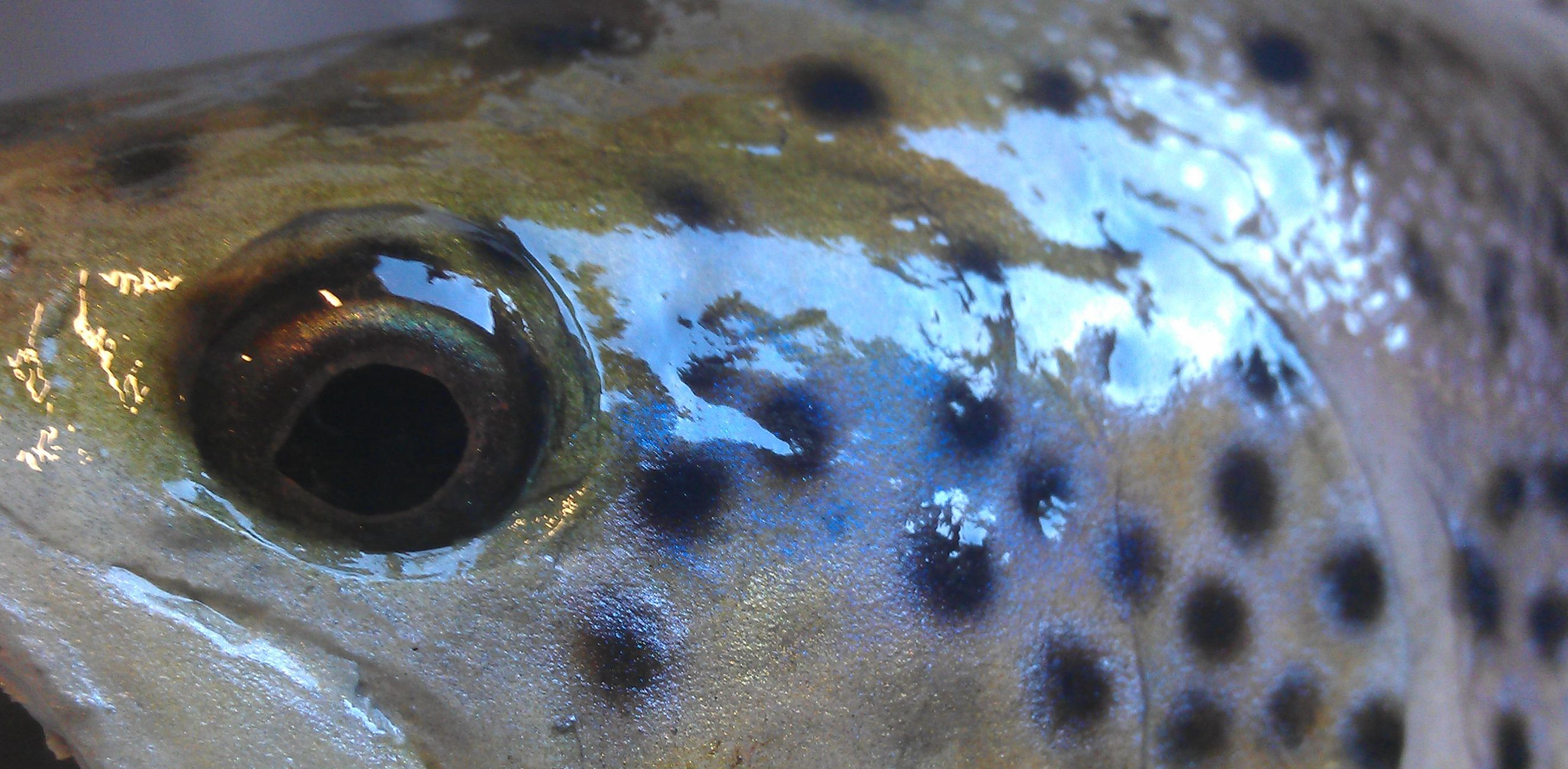 Brown trout eye detail